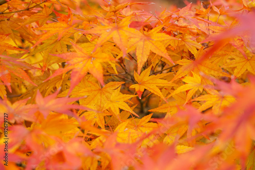 Foto op Canvas Oranje eclat Colorful maple leaves (Momiji) during autumn in Kyoto Japan