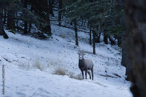 Deurstickers Canada Mountain sheep in winter forest