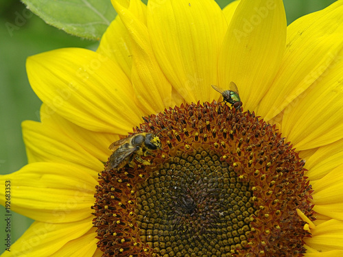 Fotobehang Oranje Bee and fly on a flower of a sunflower