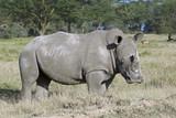White rhinoceros in Nakuru National Park, Kenya - 192688959