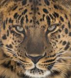 Fototapeta Far Eastern leopard