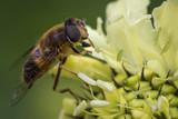 Nahaufnahme einer Hummel / Biene / Insekt auf einer Blume in einem irischen Park - 192698995