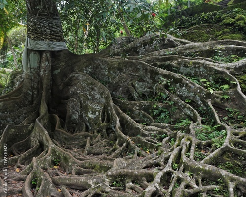 Long roots on old tree in Bali Indonesia