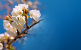 Blossom tree branches isolated on blue sky.