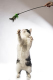 black and white cat playing on a white background - 192731559