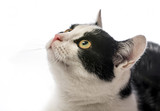 black and white cat close up on white background - 192731744