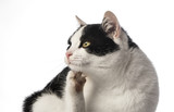 black and white cat close up - rumble - fleas - 192731914