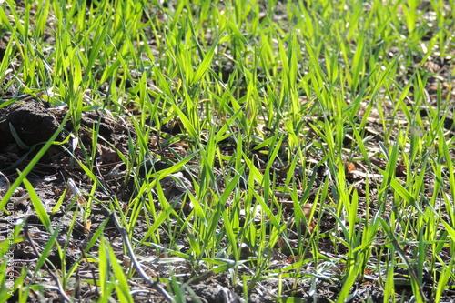 green grass closeup