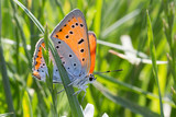 Beautiful butterfly standing on a green leaf with green background,Lycaena phlaeas - 192747746