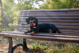 dachshund  on the bench