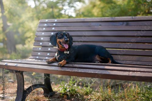 dachshund on the bench