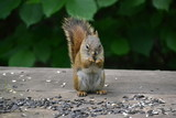 Squirrel Eating - 192756708