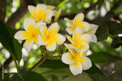 Fotobehang Plumeria Frangipani flowers .Plants blossoming in the middle east.