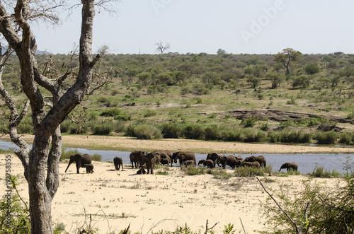 Foto Murales Eléphant d'Afrique, loxodonta africana, African elephant, Parc national Kruger, Afrique du Sud