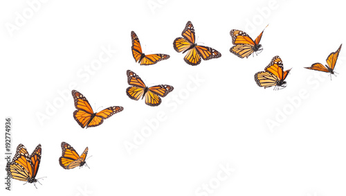 Monarch Butterfly Flying Isolated on White