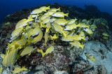 Aggregation of Yellow Fish in Blue Waters of Maldives - 192781564