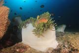 Clownfish Anemonefish fish on coral reef - 192790978