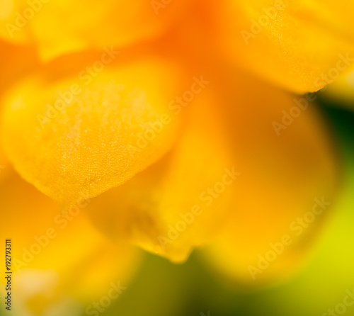 Petals of an orange flower as a background