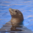 Quadro Profile portrait California sea lion (Zalophus california) in blue water