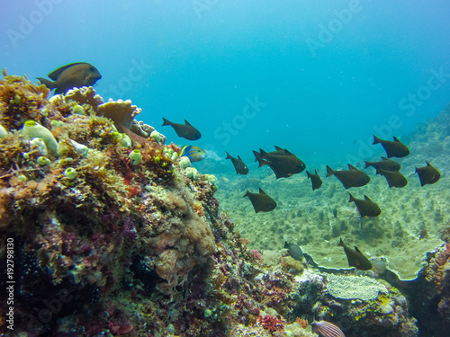 batfish indian ocean
