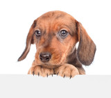 dachshund puppy above white banner. isolated on white background. Space for text