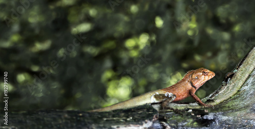 Plexiglas Kameleon Oriental garden lizard or Calotes versicolor on the wood in tropical forest asia, reptile animals.