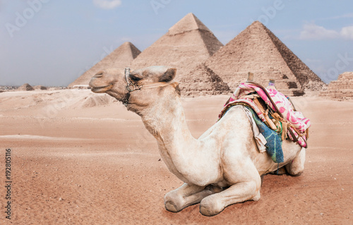 Aluminium Kameel Egyptian camel with a saddle in the desert. The camel driver drives four camels with tourists in Egypt