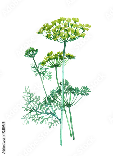 dill-plant-watercolor-illustration-isolated-on-white-background