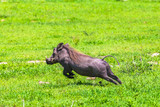 Warthogs in Tarangire National Park, Tanzania. - 192814536