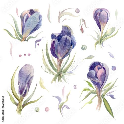 Watercolor flowers.Crocuses