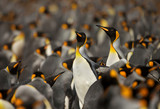 King penguin colony in the Falkland islands. - 192830926