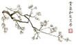 Branch of blossoming sakura . Japanese cherry tree