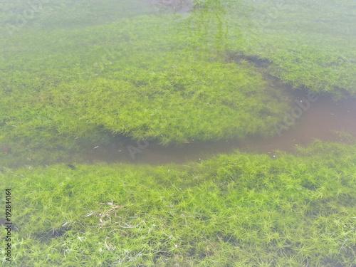 Fotobehang Pistache (Callitriche) Wasserstern Pflanzen in der Niers bei Wachtendonk