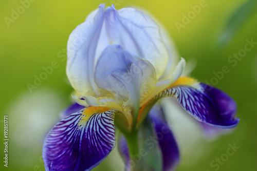 Fotobehang Iris Blühende Iris mit grünem Hintergrund