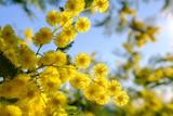 Fleurs de mimosa, macro - 192852117