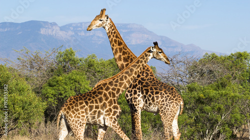 Fototapeta deux girafes se croisent dans la savane