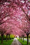 Blühende pinke Kirschbäume Endlich Frühling - 192860150