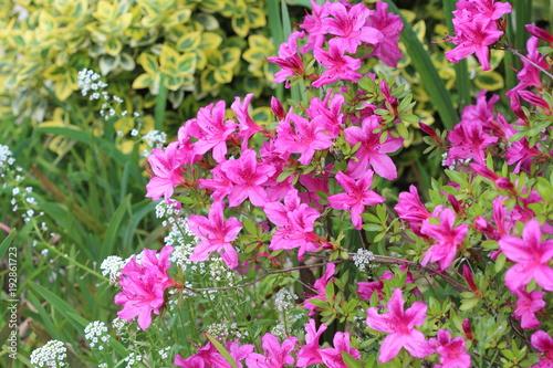 In de dag Azalea Azalee du Japon variete Purple splendor