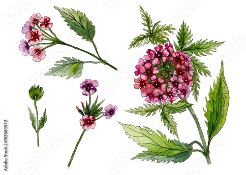 Beautiful pink flowers on a stem. Detailed floral set (lantana flowers, leaves, buds). Isolated on white background. Watercolor painting. © katiko2016