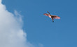 flight of spoonbill