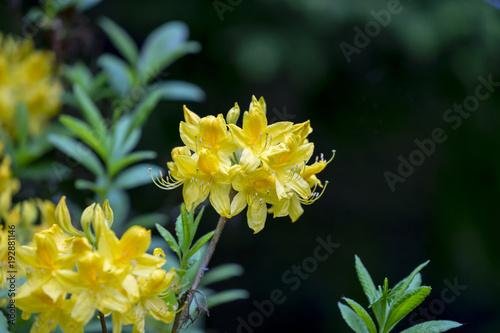 Aluminium Azalea Gelbe Blüten einer Azalee im Garten im Frühling