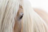Haflinger Pferd - 192882547