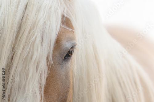 Fotobehang Paarden Haflinger Pferd