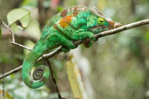 Fotobehang Kameleon Chameleon Furcifer pardalis Ambolobe 2 years old, Madagascar endemic Panther chameleon in angry state, pure Ambilobe (Chamaeleoninae)