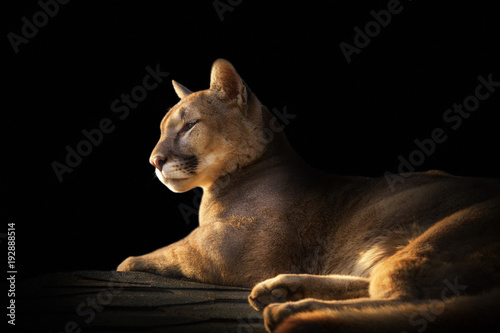 Foto op Aluminium Panter cougar portrait on black background
