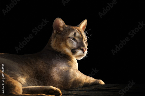 Aluminium Panter cougar portrait on black background