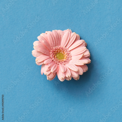 One pink gerbera flower isolated on blue with copy space - 192890703