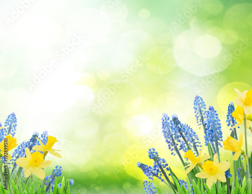 Foto op Canvas Lime groen Spring bluebells and daffodils