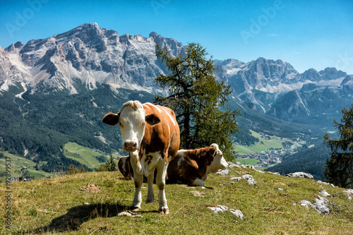 Foto Murales Landscape view with cow of Unesco World Heritage site Dolomiti, Alta Badia, Italy
