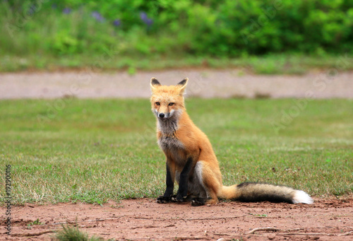 Fotobehang Canada Female Red Fox Vixen Posing in a Grass Meadow, Prince Edward Island , Canada